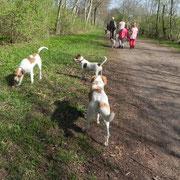 Eckart mit Kromfohrländer-Dansk-Svensk-Gardhund und Kromfohrländer