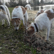 Kromfohrländer-Familientreffen in Ottersberg