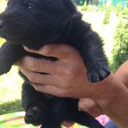 Щенки  Немецкой овчарки черного окраса