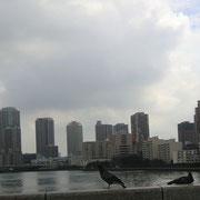 かちどき橋の鳩とビル