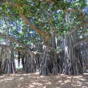カピオラニパーク公園にある巨大なバンヤンの木