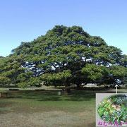日立の「この木なんの木」でおなじみの木はモンキーポッド…ねむの花が咲いていた
