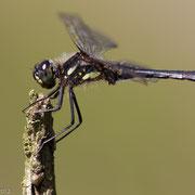 Zwarte heidelibel (man)