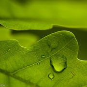 Eikenblad met waterdruppels