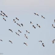 Vlucht kraanvogels