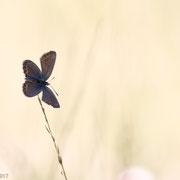 Heideblauwtje (v)