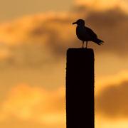 Meeuw op paal bij zonsopkomst