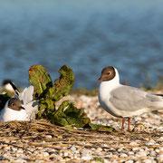 Kokmeeuwen op nest