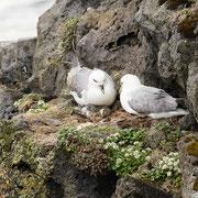 Noordse stormvogels