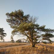 Dennenbomen in ochtendzon