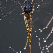 Spin in web met dauw