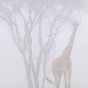 Giraf in de mist