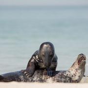 Spelende grijze zeehonden