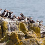 Papegaaiduikers op rotsen