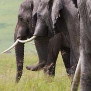 Olifanten in Ngoro Ngoro