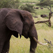 Olifant in Tarangire National Park