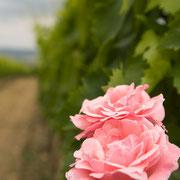 Rozen op wijnranken