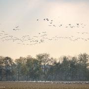 Kraanvogels en wilde zwanen