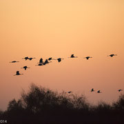 Kraanvogels bij zonsopkomst boven Rehdener Geestmoor