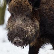 Wild zwijn in de sneeuw (in natuurpark)