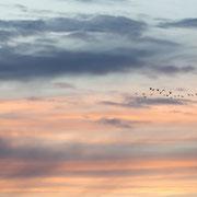 Ganzen met wolkenlucht