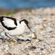 Kluut ruimt nest op