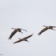 Famile kraanvogels