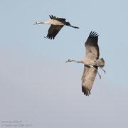 Landende kraanvogels