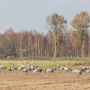 Groep kraanvogels op maisakker