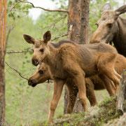 Elanden in natuurpark