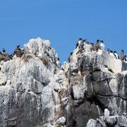 Zeekoeten op de rotsen