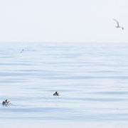 Papegaaiduikers op de zee