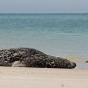 Grijze zeehond met scholekster