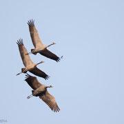 Familie kraanvogels