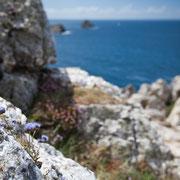 Bloemen bij Pointe de Penhir