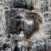 Drieteenmeeuwen op de rotsen