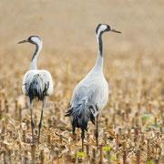Kraanvogels in maisveld