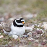 Bontbekplevier op nest
