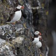 Papegaaiduikers op de rotsen