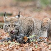 Lynx aan de maaltijd