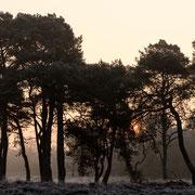 Zonsopkomst achter dennebomen