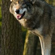 Wolf (in dierentuin)