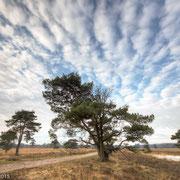 Dennenbomen met wolkenlucht