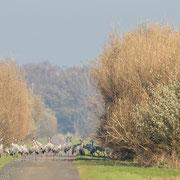 Kraanvogels op de weg