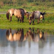 Konikpaarden met spreeuwen