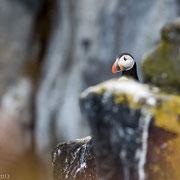 Papegaaiduiker op de rotsen