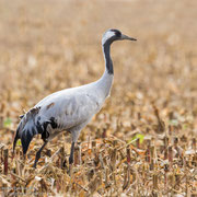Kraanvogel in maisveld