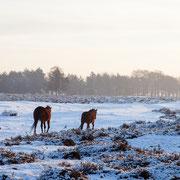 Paarden op de heide