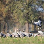 Landende kraanvogel voegt zich bij de groep