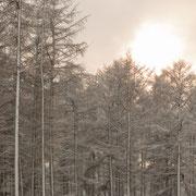 Dennen in de sneeuw